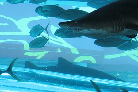 Gold Nugget, Shark Tank