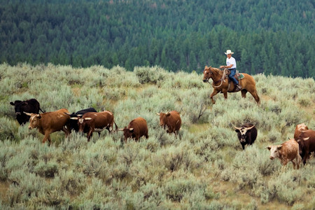 Montana cowboy shown here in a cattle drive.