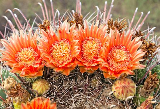 Flowers on a barrel cactus in Arizona desert.