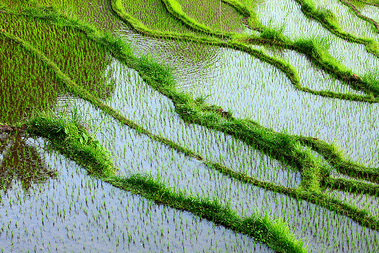 Rice terraces flooded with water on Bali Island, Indonesia